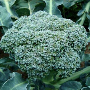 close up of broccoli head growing