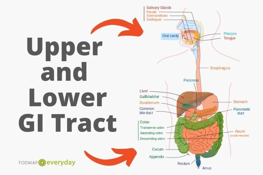 Diagram of upper and lower gastrointestinal tract